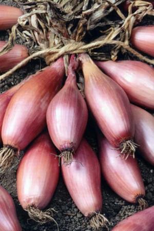 Semences potagères : Echalion  Zébrune