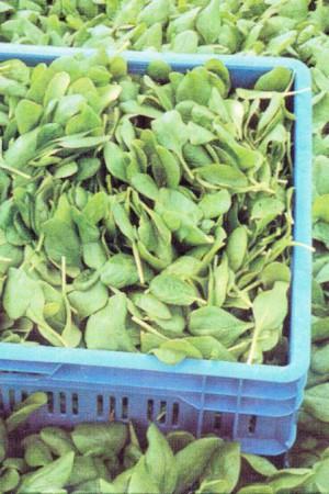Semences potagères : Epinard Andros
