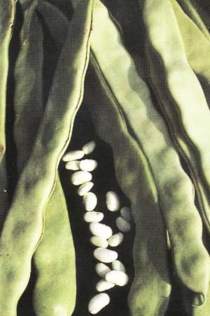 Semences potagères : Haricot à rames Sabre