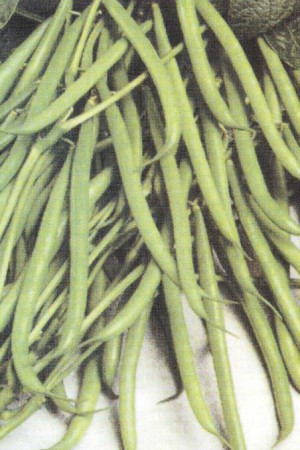 Semences potagères : Haricot à rames Blue Lake