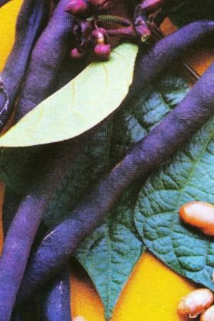 Semences potagères : Haricot à rames A cosse violette