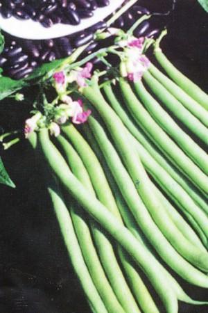 Semences potagères : Haricot nain vert mangetout Sunray