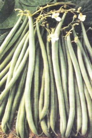Semences potagères : Haricot nain vert mangetout Braimar