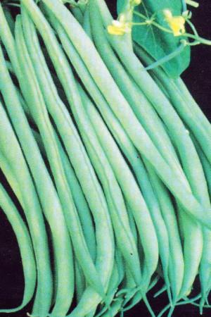 Semences potagères : Haricot nain vert mangetout Argus BIO