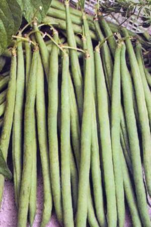 Semences potagères : Haricot nain vert mangetout Talisman