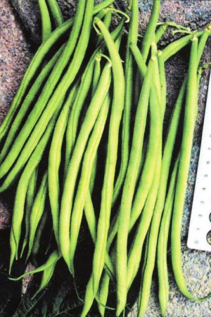 Semences potagères : Haricot nain vert mangetout Tarot
