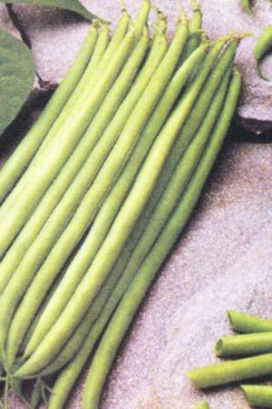 Semences potagères : Haricot nain vert mangetout Delinel