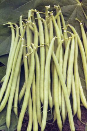 Semences potagères : Haricot nain vert mangetout Castandel
