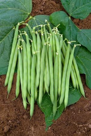 Semences potagères : Haricot nain vert mangetout Sansoucy