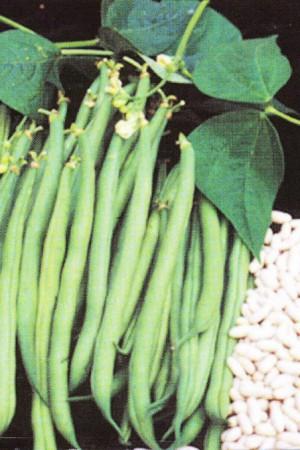 Semences potagères : Haricot nain vert mangetout Prelude