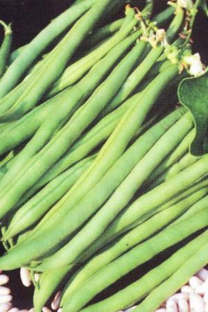 Semences potagères : Haricot nain vert mangetout Princesse double de Hollande