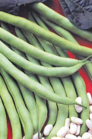 Semences potagères : Haricot nain vert mangetout Processor