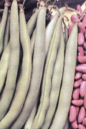 Semences potagères : Haricot nain vert mangetout Saxa