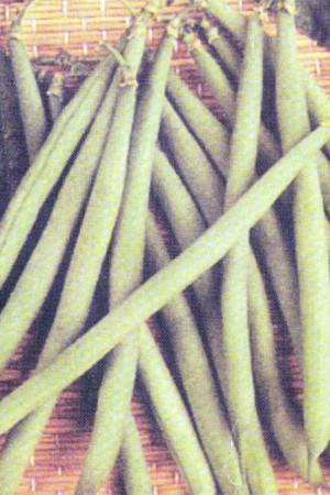 Semences potagères : Haricot nain vert mangetout Sonate