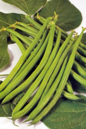 Semences potagères : Haricot nain vert mangetout Magical