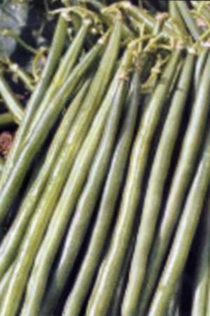 Semences potagères : Haricot nain vert mangetout Nautica