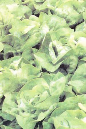 Semences potagères : Laitue pommée de pleine terre Kagraner