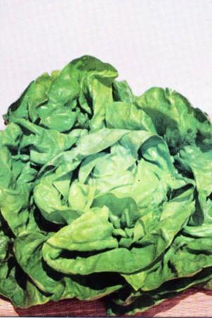 Semences potagères : Laitue pommée de pleine terre Augusta