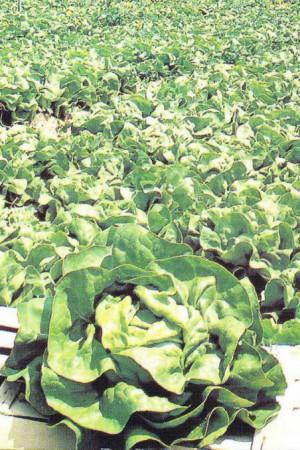 Semences potagères : Laitue pommée de pleine terre Deliane