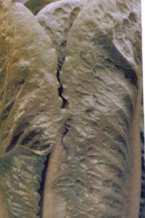 Semences potagères : Laitue pommée de pleine terre Romaine Remus