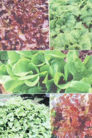 Semences potagères : Laitue à couper en mélange