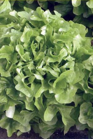 Semences potagères : Laitue à couper Feuille de chêne verte