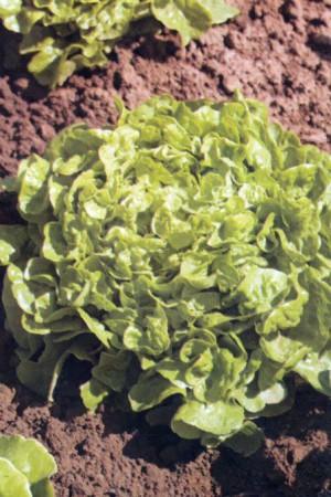 Semences potagères : Laitue à couper FDC verte Kyrio