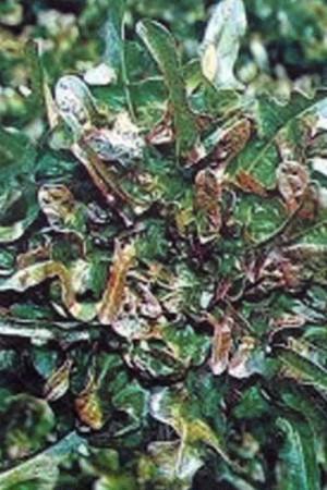 Semences potagères : Laitue à couper Cocarde