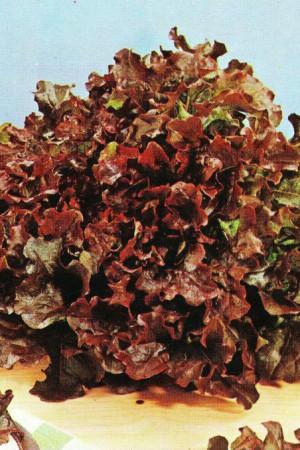 Semences potagères : Laitue à couper Red Salad Bowl