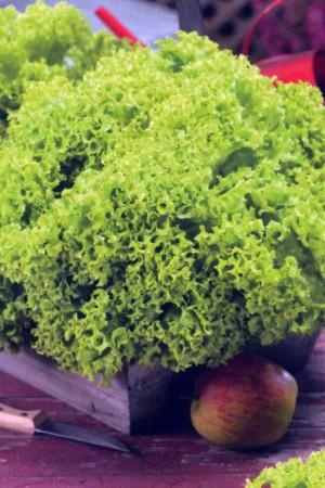 Semences potagères : Laitue à couper Lollo Bionda BIO
