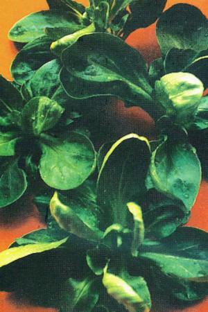 Semences potagères : Mâche Coquille de Louviers