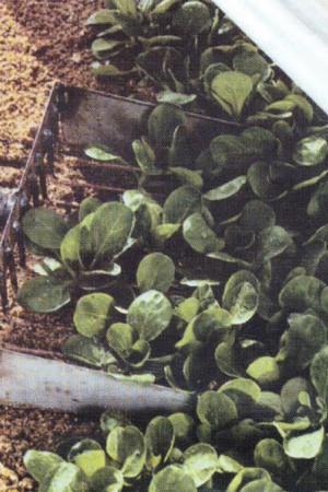 Semences potagères : Mâche de Cambrai