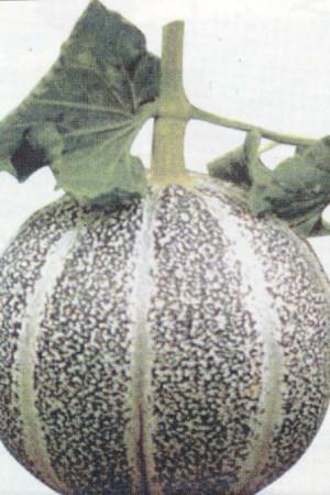Semences potagères : Melon Petit gris de Rennes