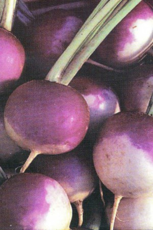 Semences potagères : Navet Blanc globe à collet violet