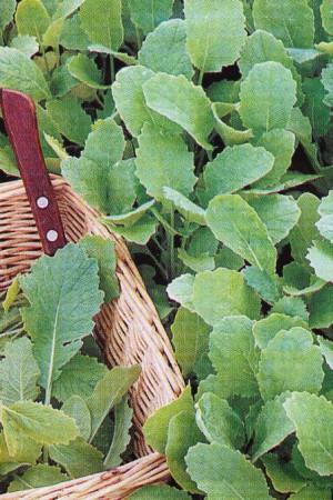 Semences potagères : Quesse Feuille de navets verte