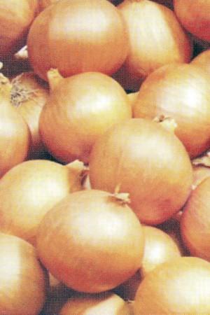 Semences potagères : Oignon Rijnsburger