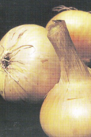 Semences potagères : Oignon Stuttgart BIO