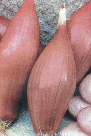 Semences potagères : Oignon Simiane