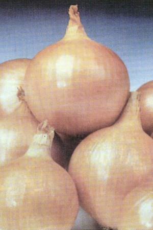 Semences potagères : Oignon Hyskin F1