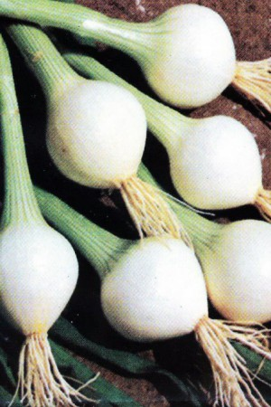 Semences potagères : Oignon Elody