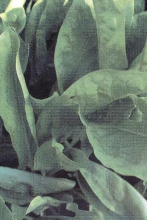Semences potagères : Oseille de Belleville