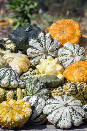 Semences potagères : Patisson Verruqueux panaché BIO