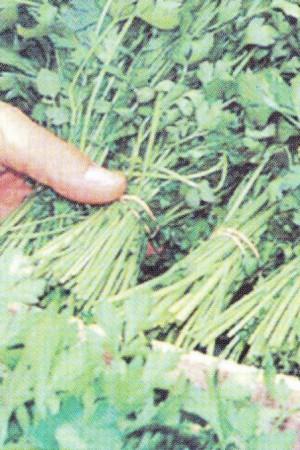 Semences potagères : Persil Géant d'Italie BIO