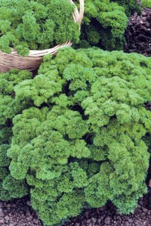Semences potagères : Persil Frisé vert foncé