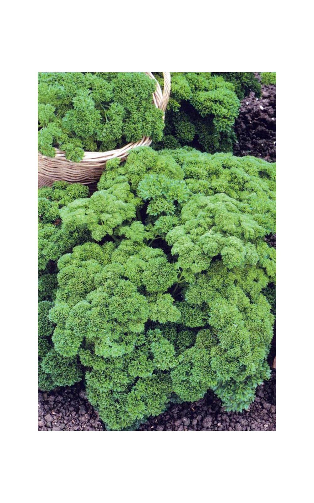 Comment Planter Les Graines De Persil semences potagères : persil frisé vert foncé : hello seeds