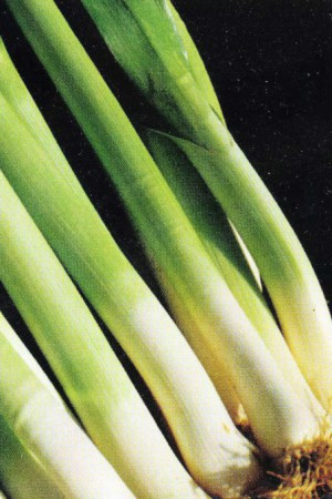 Semences potagères : Poireau Varna