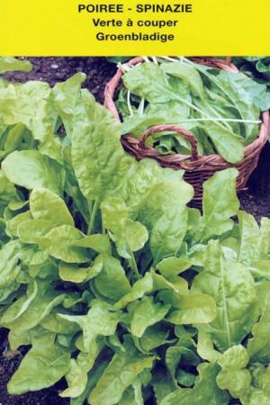 Semences potagères : Poirée (bette) Verte à couper (Erbette)
