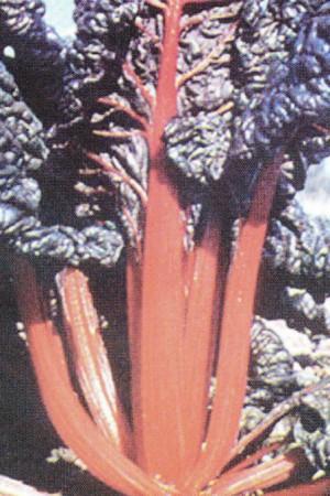 Semences potagères : Poirée (bette) Rouge