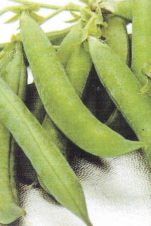 Semences potagères : Pois à écosser Rondo BIO