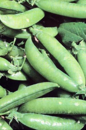 Semences potagères : Pois à écosser Merveille de Kelvedon